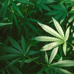 Arizona Marijuana Laws and Criminal Defense